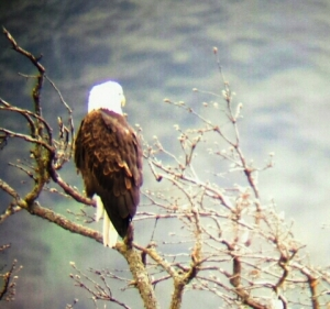 Bald Eagle perched above the Columbia River