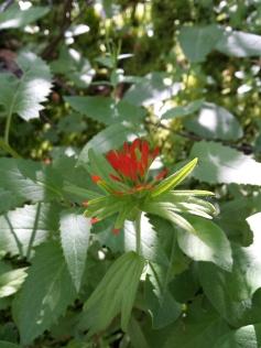 Red paintbrush flower